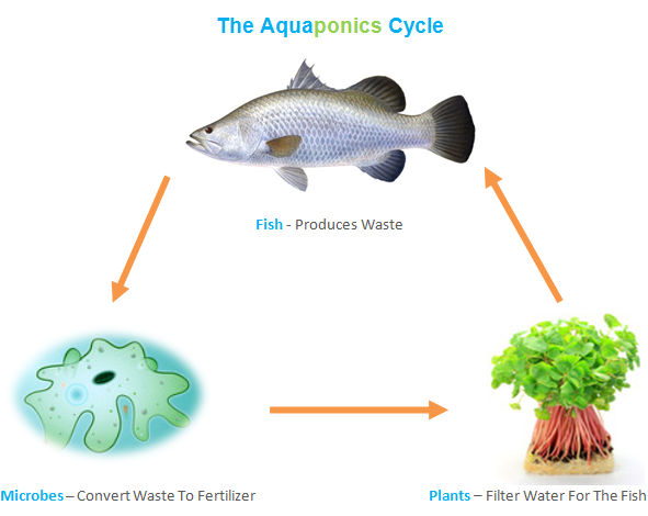 Diy aquaponics and how to easily build one for Fish for aquaponics