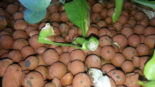 Harvesting Aquaponics Bak Choy