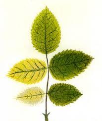 Iron Deficient Plant