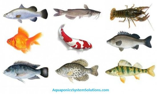 Aquaponics blog aquaponics system solutions for Fish for aquaponics