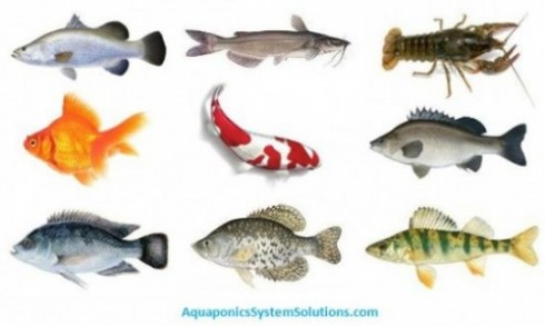 Aquaponics systems for Fish used in aquaponics