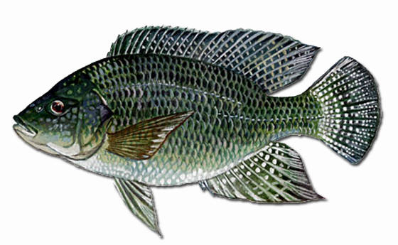 Tilapia for aquaponics for What kind of fish is tilapia