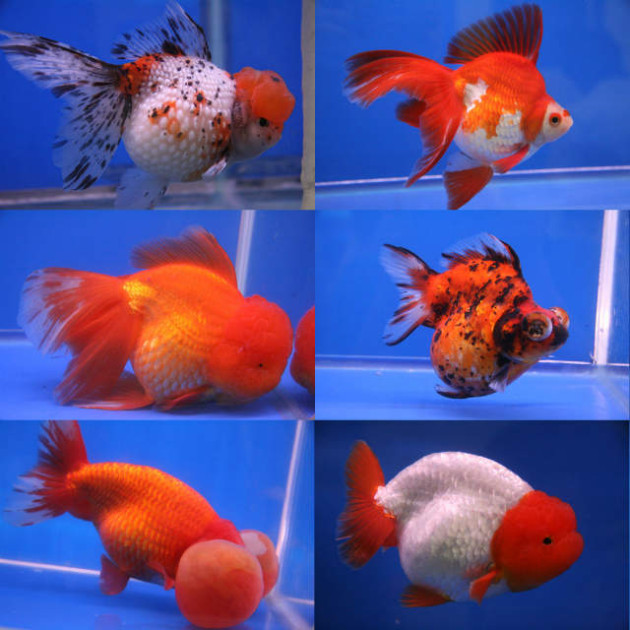 Goldfish For Aquaponics Discover The Variety You Can